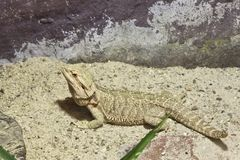 Little lizard, Bearded Dragons Stock Images