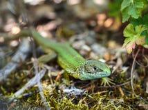 Little lizard Stock Photos