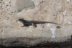 Little lizard with long tail on the rock in nature Stock Photos