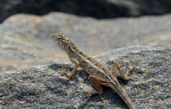 Little lizard looking around on the rock in nature detail photo. Little lizard looking around on the rock in nature detail royalty free stock photo