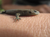 Little lizard on the palm Stock Photo