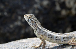 Little lizard on the rock in nature detail photo. Little lizard on the rock in nature detail stock images