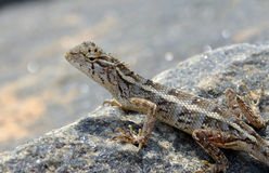 Little lizard on the rock in nature detail photo. Graphy stock images