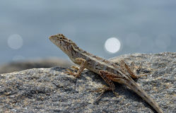 Little lizard on the rock in nature detail photo. Little lizard on the rock watching in nature detail photo royalty free stock photos