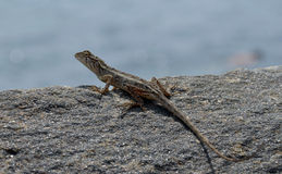Little lizard on the rock near to the sea detail photo Stock Photography