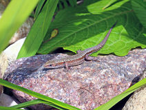 Little lizard on a rock Royalty Free Stock Photography