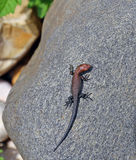 Little lizard on a rock Stock Photography