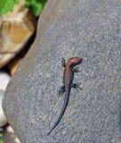 Little lizard on a rock Stock Photography