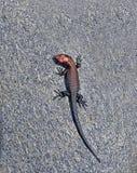 Little lizard on a rock Royalty Free Stock Photo