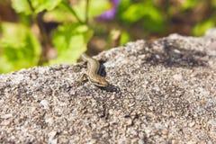 Little Lizard Royalty Free Stock Photo