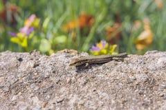 Little Lizard Stock Photo