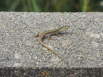 Little lizard Royalty Free Stock Photography