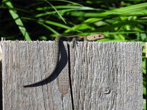 Little lizard in swamp, Lithuania Stock Image