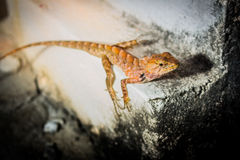 Little lizard. This is Thai lizard we called them Kapom.  We can find them all country in Thailand especially in rural areas or farmhouse Royalty Free Stock Photo