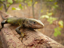 Little lizard Royalty Free Stock Images