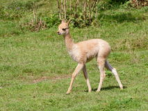 Little llama baby side view Stock Image