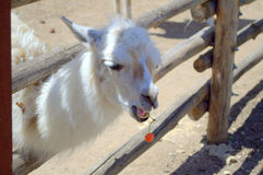 Little llama eating cherries Stock Images
