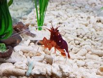 Little lobster in an aquarium royalty free stock photo