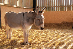 Little lone Donkey in a Stable Royalty Free Stock Image