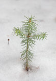 Little lonely christmas tree in winter forest Stock Images