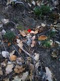 Little lonely red poppy in the forest  Spring loneliness land,Republic of Crimea. Tiny poppy in the forest density on the slope trying to break through to the stock photography