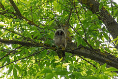 Little long eared owl sitting on a tree branch. Stock Photography