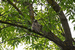 Little long eared owl sitting on a tree branch. Stock Image