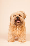 Little long haired dog on beige background Royalty Free Stock Images