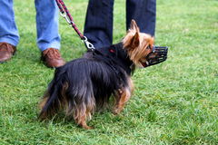 The little long-haired dog in a muzzle is walking in a park. Stock Photography