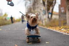 A little long-haired puppy wearing a blue sweater. royalty free stock photos