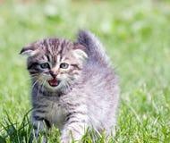 Little lop-eared kitten stock image