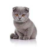 Little lop-eared kitten  on white Stock Image