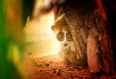 Little Loris Royalty Free Stock Images
