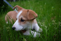 Little lovely corgi lie on the green grass land. Yellow white pure blood lie on the green grassland Royalty Free Stock Photos
