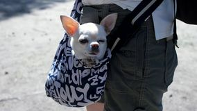 Little lovely dog in the dark blue bag of traveller, sunny day. Clip. Little white dog in travel bag. The concept of stock photography