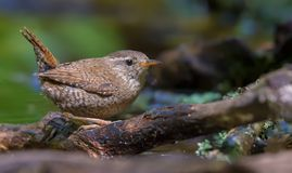 Little lovely Eurasian wren hides in the roots and sticks royalty free stock photos