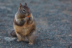 Little lovely marmot eating fruit royalty free stock photos