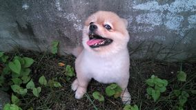 Little lovely  Pomeranian dog sit on garden Stock Photos