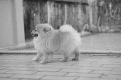 Little lovely  Pomeranian dog walking on floor. Little lovely Pomeranian dog walk Stock Photo