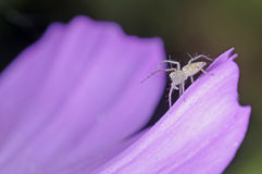 Little lynx spider Stock Images