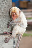 Little  macaca monkey chained, looking sad. Stock Photo