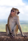 Little macaca monkey siting on the wall. Stock Photos