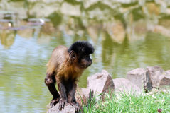 Little macaque monkey Royalty Free Stock Images