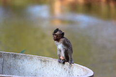 Little macaque Stock Photo