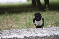 Little Magpie Royalty Free Stock Image