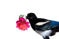 A little Magpie prankster is holding a Rose blossom. Stock Photo