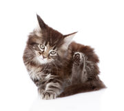 Little maine coon cat scratching isolated on white background Royalty Free Stock Photography
