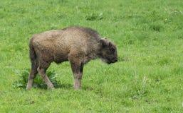 Little male bison in the forest, bison in grasslands, wild Plains Bison, European Bison (Bison bonuses) close up Royalty Free Stock Photo
