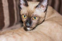 A little male tabby cat lying eye contact. A little male tabby cat lying eye contact Stock Photos