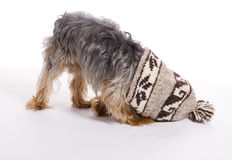 Little Male Yorkie Dog Pet Stuck in Hat. Family pet brown and grey male Yorkie dog gets head stuck in winter stocking cap stock image